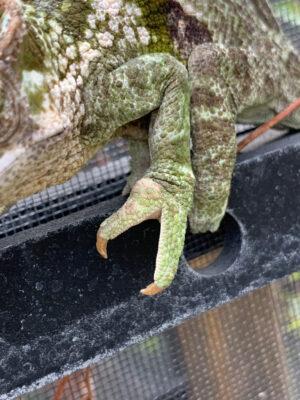 chameleon showing gout