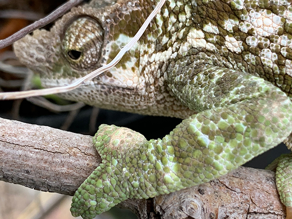 chameleon with gout