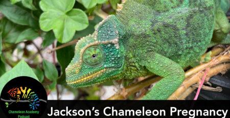 Pregnant Jackson's Chameleon